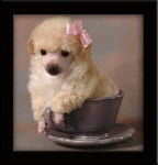 Light-Apricot-Teacup-Poodle-AAA